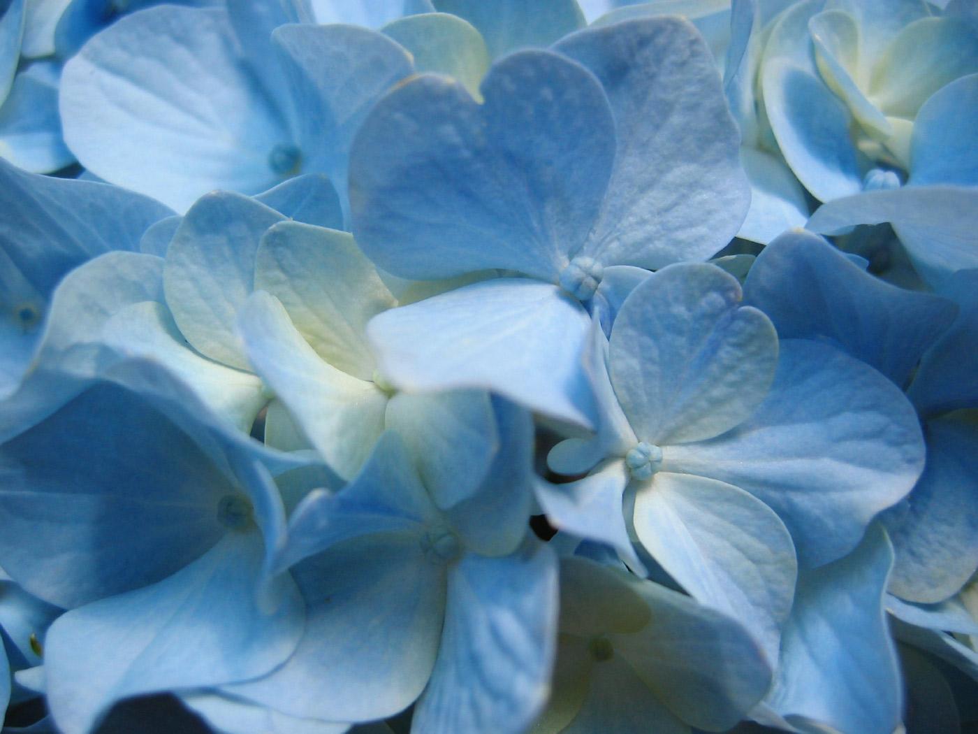 bluehydrangeaflowercloseupphotography.jpg